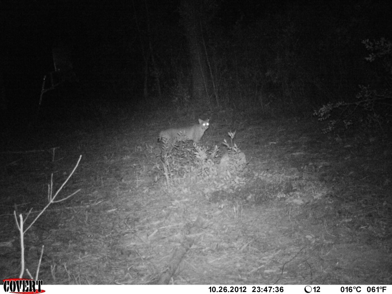 Bobcat captured on a Covert Game Camera