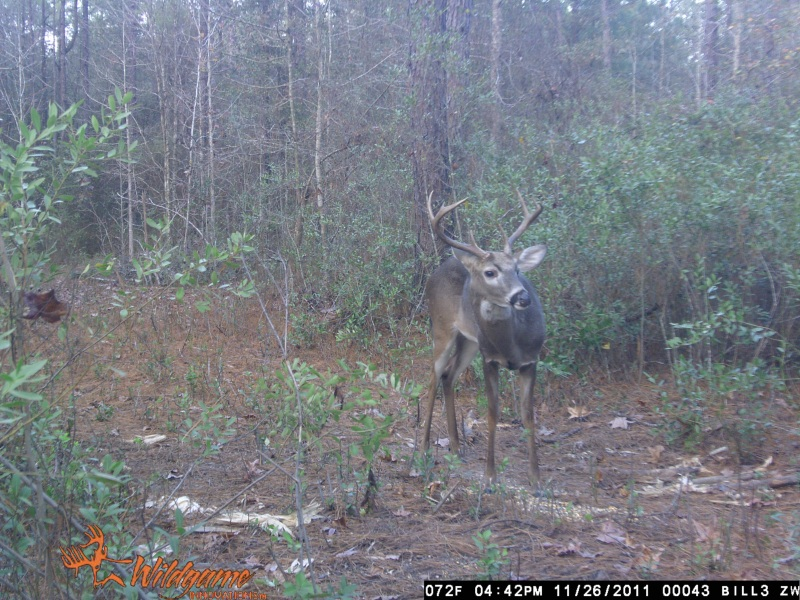 A young eight point at ATCO Plantation