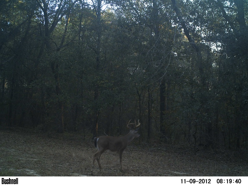 A yound buck waiting on the rut at ATCO Plantation