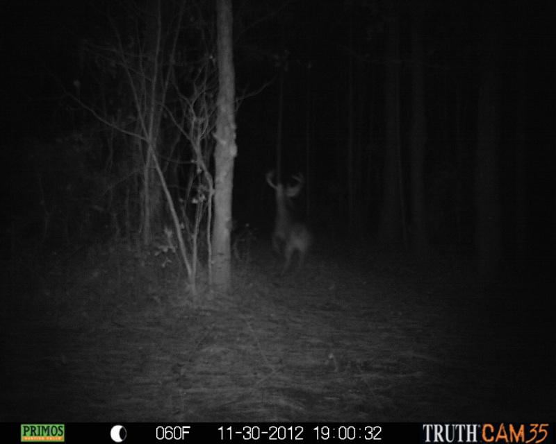 A large buck on the move at ATCO Plantation